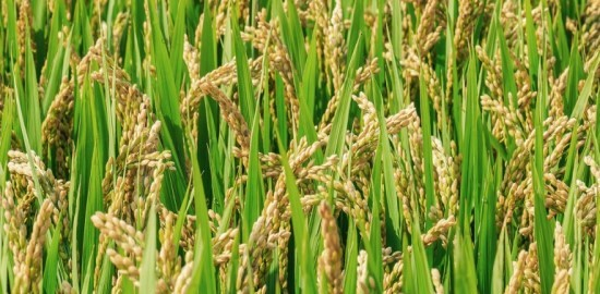 Best quality rice in India