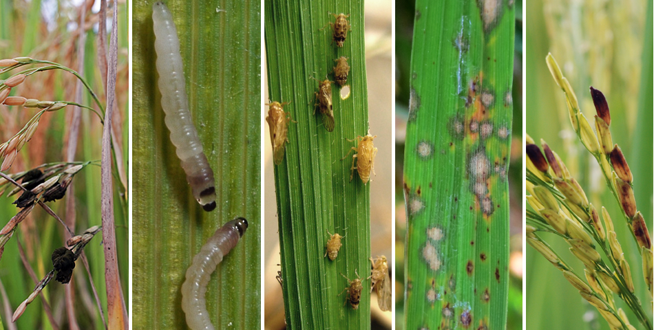 Rice Insect Pest Management